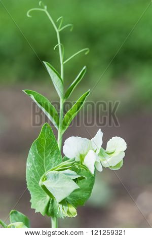 Photo Flowering Sweet Pea