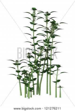 Urtica Dioica Or Nettle On White