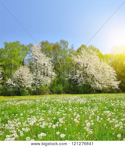 Spring landscape with dandelions on the meadow