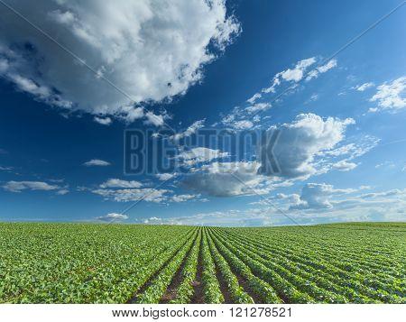 Beautiful Soybean Fields At Idyllic Sunny Day