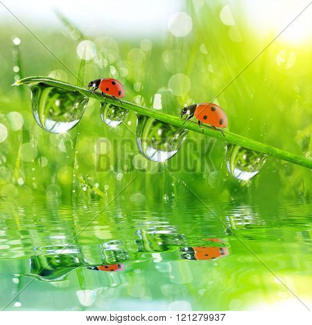Fresh morning dew on green grass and ladybirds. Natural background.