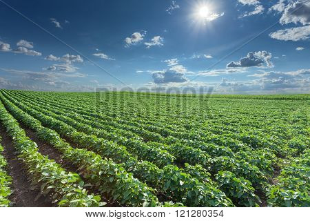 Soybean Fields At Idyllic Sunny Summer Day