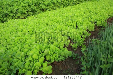 green lettuce ,spring onion and celery plants in growth at garden