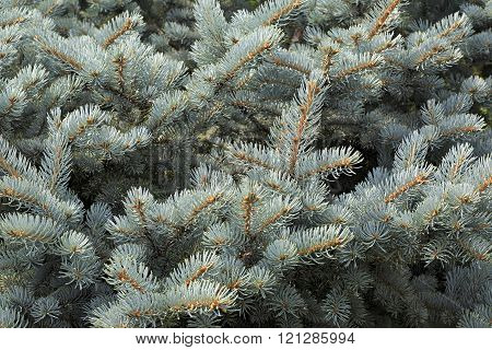 Blue spruce the scientific name Picea pungens