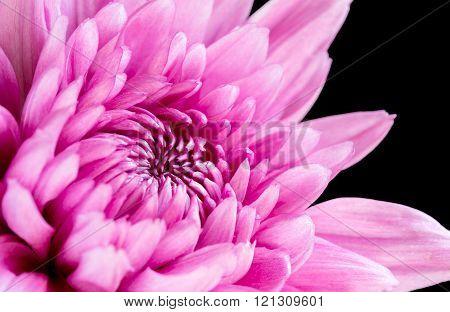 Close up pink chrysanthemum on black