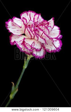 White and pink carnation on black