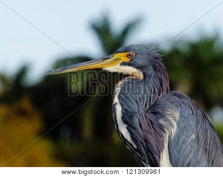Close Up Tricolored Heron Feather Dust in Beak