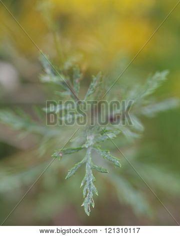 Hoary ragwort (Senecio erucifolius)