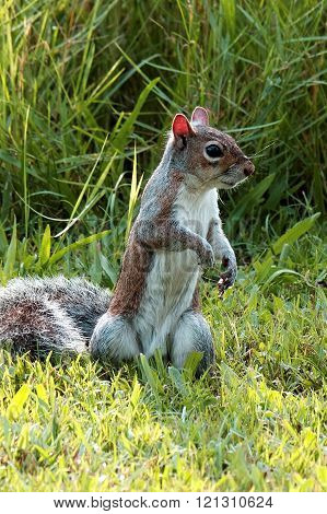 Alert Eastern Gray Squirrel Standing Upright in Grass