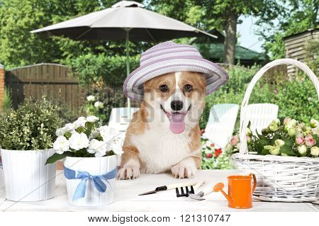 Welsh Corgi Pembroke Dog In A Hat