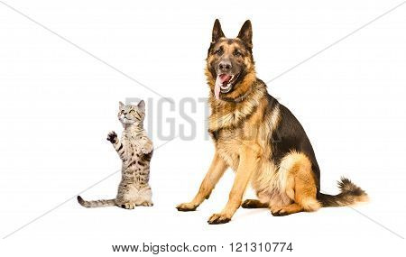 German Shepherd dog  and funny kitten Scottish Straight