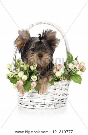 Yorkshire Terrier Puppy In A Flower Basket