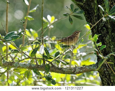 Migratory Palm Warbler Perched on a tree branch