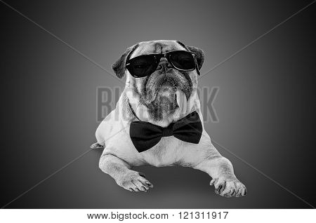Smart Detective Cute Pug Dog With Sunglasses And Suit Bow Tie In Black And White.
