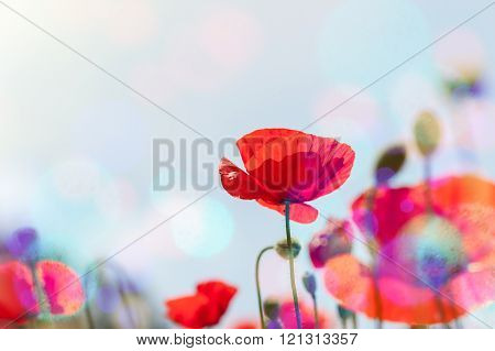 Red Poppy Flowers At Sunrise.