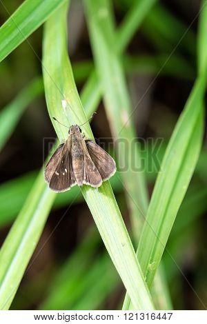 Twin spot Skipper butterfly on Green Foliage