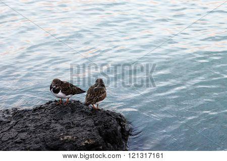 Ruddy Turnstone Couple At The Shore - Arenaria Interpres