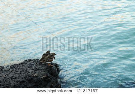 Ruddy Turnstone Looking Into Water - Arenaria Interpres