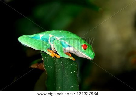 Red-eye tree frog Agalychnis callidryas in terrarium with natural environment look