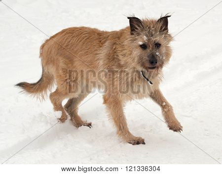 Red mongrel dog goes on white snow