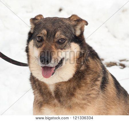 Gray mongrel dog sitting on white snow