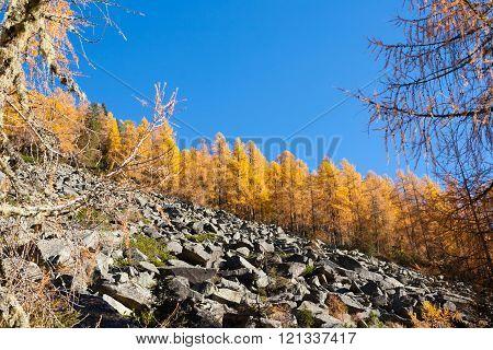 Yellow Pines, Autumn Landscape