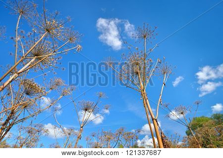 Cow parsnip or toxic hogweed (Heracleum) plants over blue sky