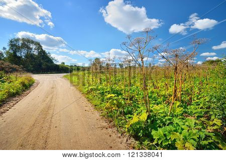 Road through cow parsnip or toxic hogweed (Heracleum) overgrown field. Ecological problem.