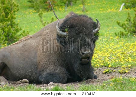 Buffalo In Wildflowers