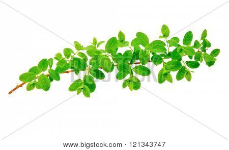 Green tree branch isolated on a white background