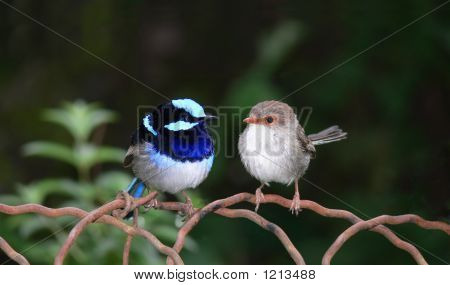 Superb Blue Fairy Wrens Panoramic Composite For