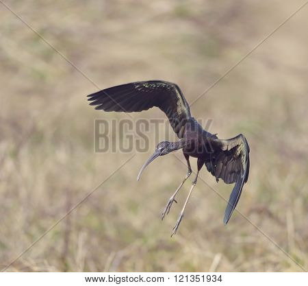 Glossy Ibis in Florida Wetlands