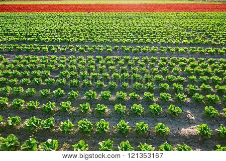 Green romain letucce and red oak leaf field in a row in Mediterranean area