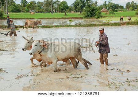 Farmer Plowing His Field With Cows In Siem Reap