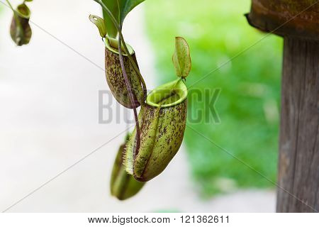 Nepenthes ampullaria in the garden