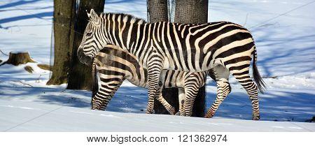 Winter time Zebras