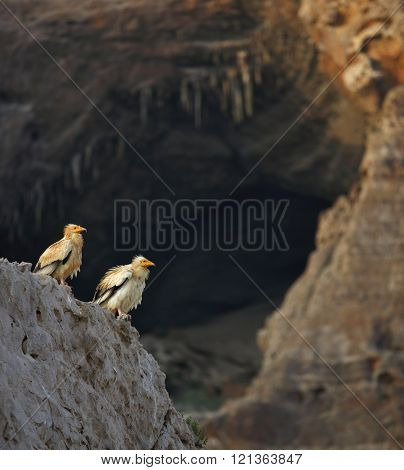 Egyptian Vulture (Neophron percnopterus) with cave background, Socotra island