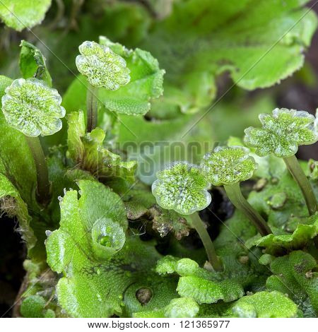 Liverwort (marchantia) Close Up