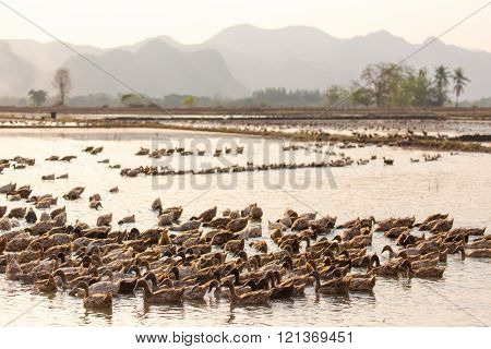 Farm ducks group swimming in the muddy pond in Kanchanaburi, Thailand