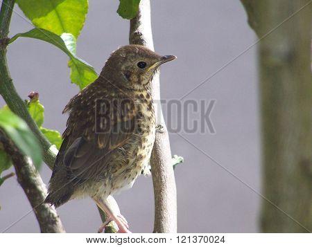 young brown bird