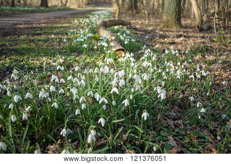 Bunch Of Snowflake Or Snowdrop Flower In Bloom.