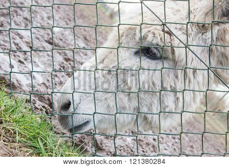 Donkey Behind A Green Fence