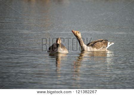 Beautiful Greylag Goose Anser Anser In Wetland Landscape