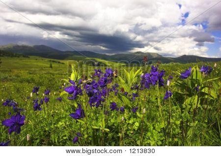 Aquilegia Meadow
