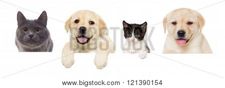 kitten and puppy Labrador on a white background