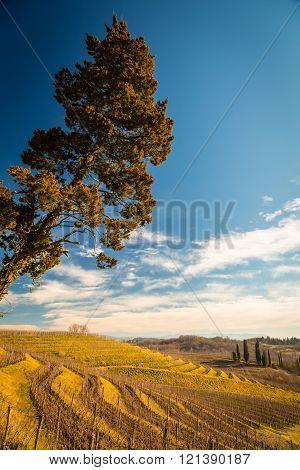 vineyard in Friuli