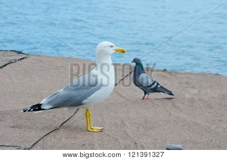 Seagull And A Pigeon On A Beach