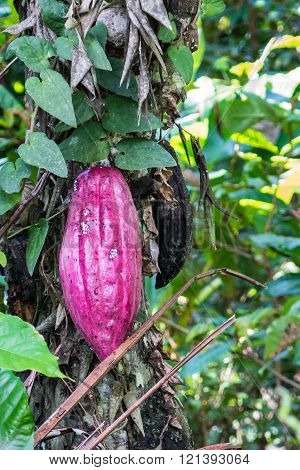 Cacao Tree On Bali