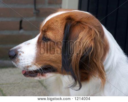 Dog (Kooikerhondje)