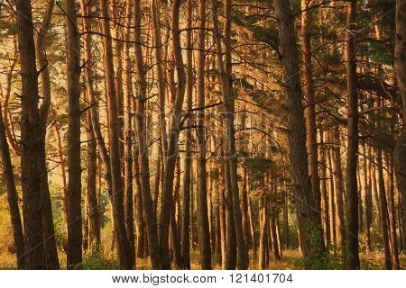 Thick Pine Forest